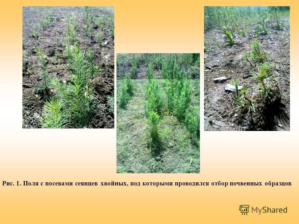 Рис. 1. Поля с посевами сеянцев хвойных, под которыми проводился отбор почвенных образцов