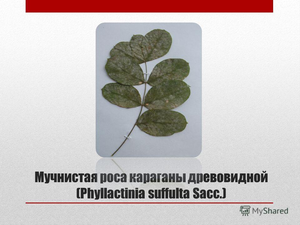 Мучнистая роса караганы древовидной (Phyllactinia suffulta Sacc.)