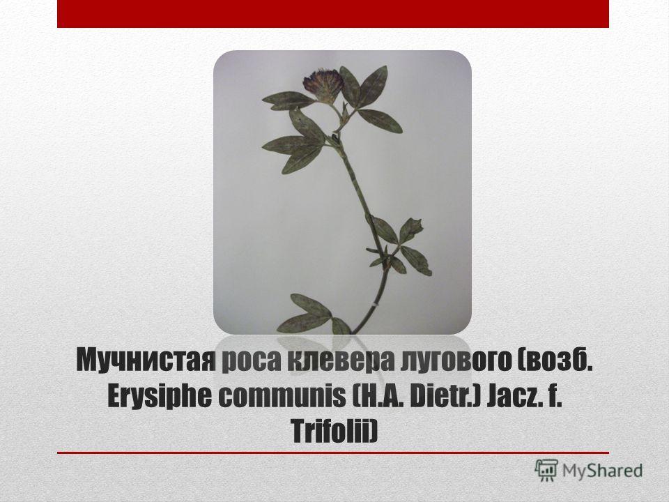 Мучнистая роса клевера лугового (возб. Erysiphe communis (H.A. Dietr.) Jacz. f. Trifolii)