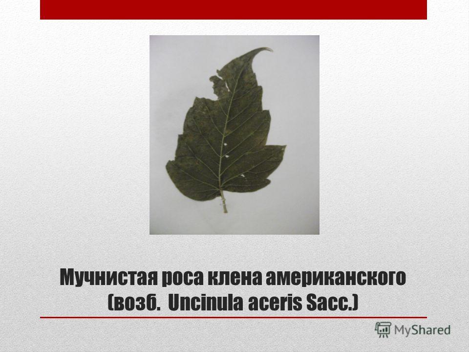 Мучнистая роса клена американского (возб. Uncinula aceris Sacc.)