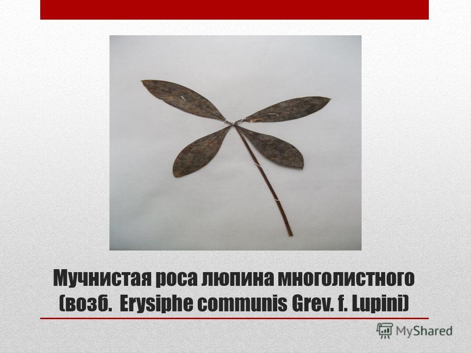 Мучнистая роса люпина многолистного (возб. Erysiphe communis Grev. f. Lupini)