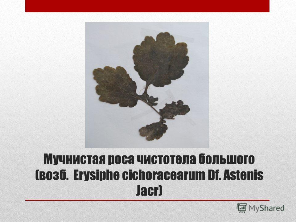 Мучнистая роса чистотела большого (возб. Erysiphe cichoracearum Df. Astenis Jacr)