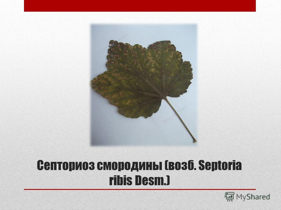 Септориоз смородины (возб. Septoria ribis Desm.)