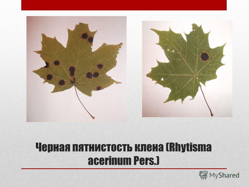 Черная пятнистость клена (Rhytisma acerinum Pers.)