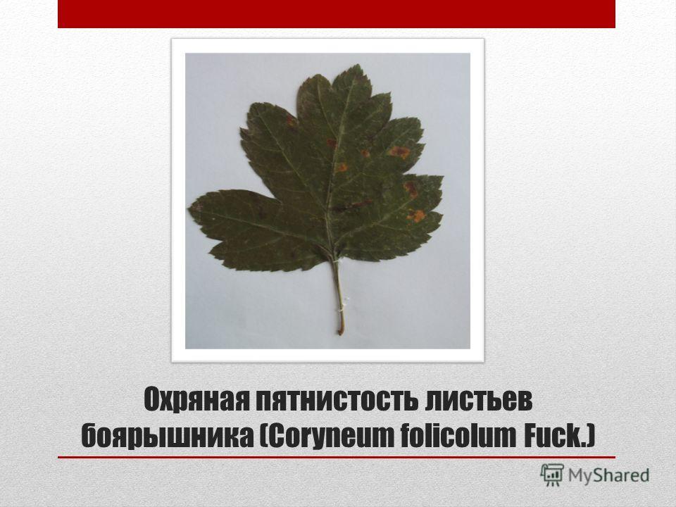 Охряная пятнистость листьев боярышника (Coryneum folicolum Fuck.)