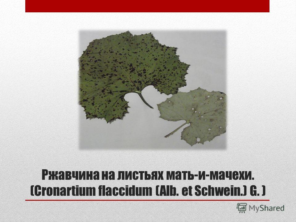 Ржавчина на листьях мать-и-мачехи. (Cronartium flaccidum (Alb. et Schwein.) G. )