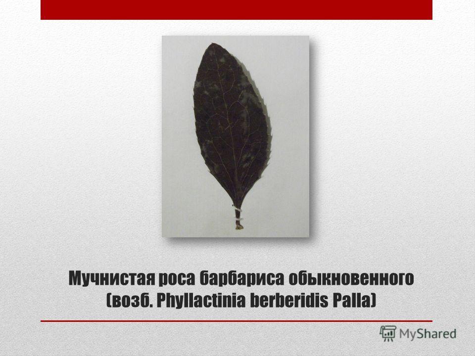 Мучнистая роса барбариса обыкновенного (возб. Phyllactinia berberidis Palla)