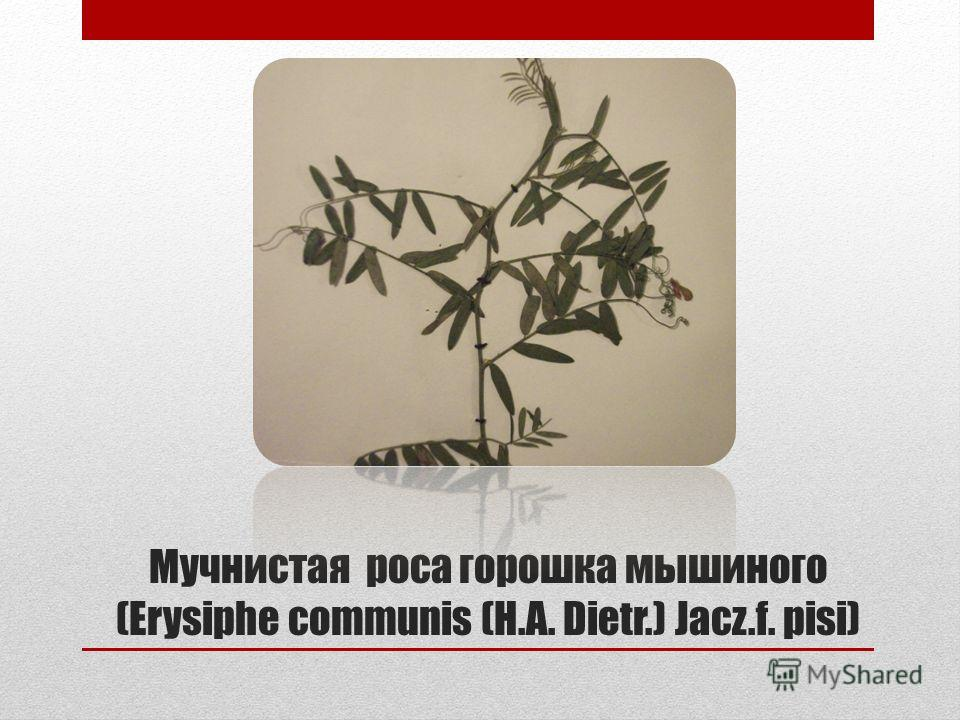 Мучнистая роса горошка мышиного (Erysiphe communis (H.A. Dietr.) Jacz.f. pisi)