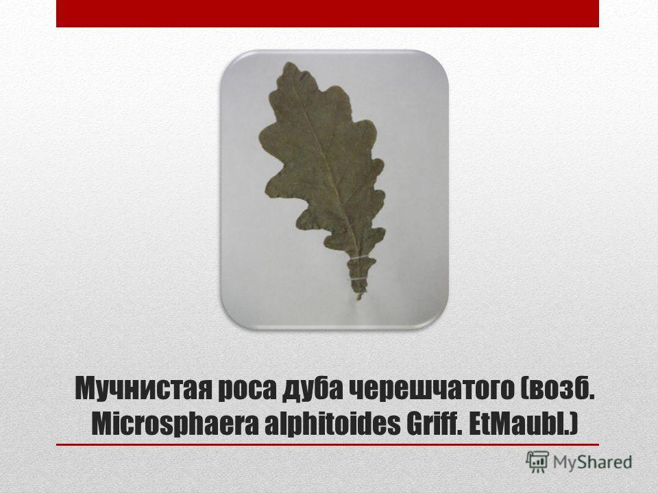 Мучнистая роса дуба черешчатого (возб. Microsphaera alphitoides Griff. EtMaubl.)