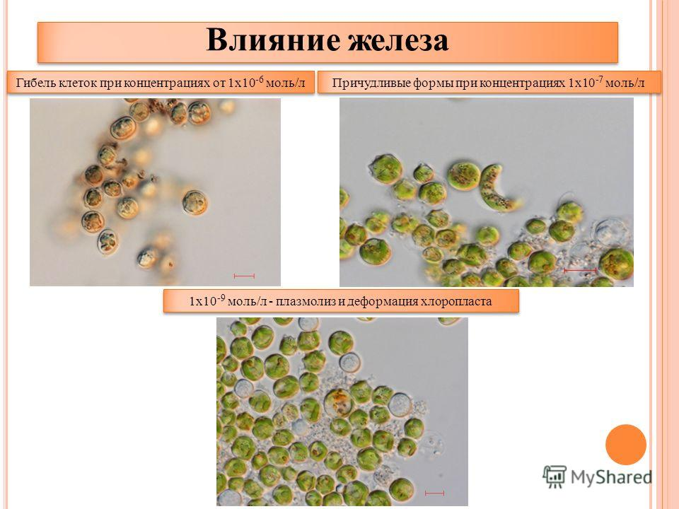Причудливые формы при концентрациях 1х10 -7 моль/л Гибель клеток при концентрациях от 1х10 -6 моль/л 1х10 -9 моль/л - плазмолиз и деформация хлоропласта Влияние железа