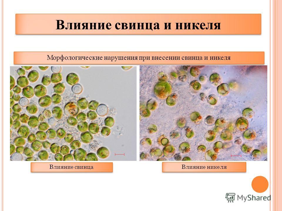 Морфологические нарушения при внесении свинца и никеля Влияние свинца Влияние никеля