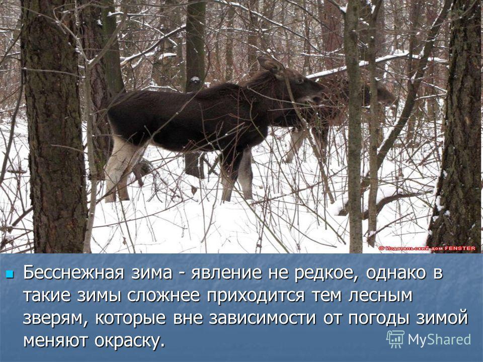 Бесснежная зима - явление не редкое, однако в такие зимы сложнее приходится тем лесным зверям, которые вне зависимости от погоды зимой меняют окраску. Бесснежная зима - явление не редкое, однако в такие зимы сложнее приходится тем лесным зверям, кото