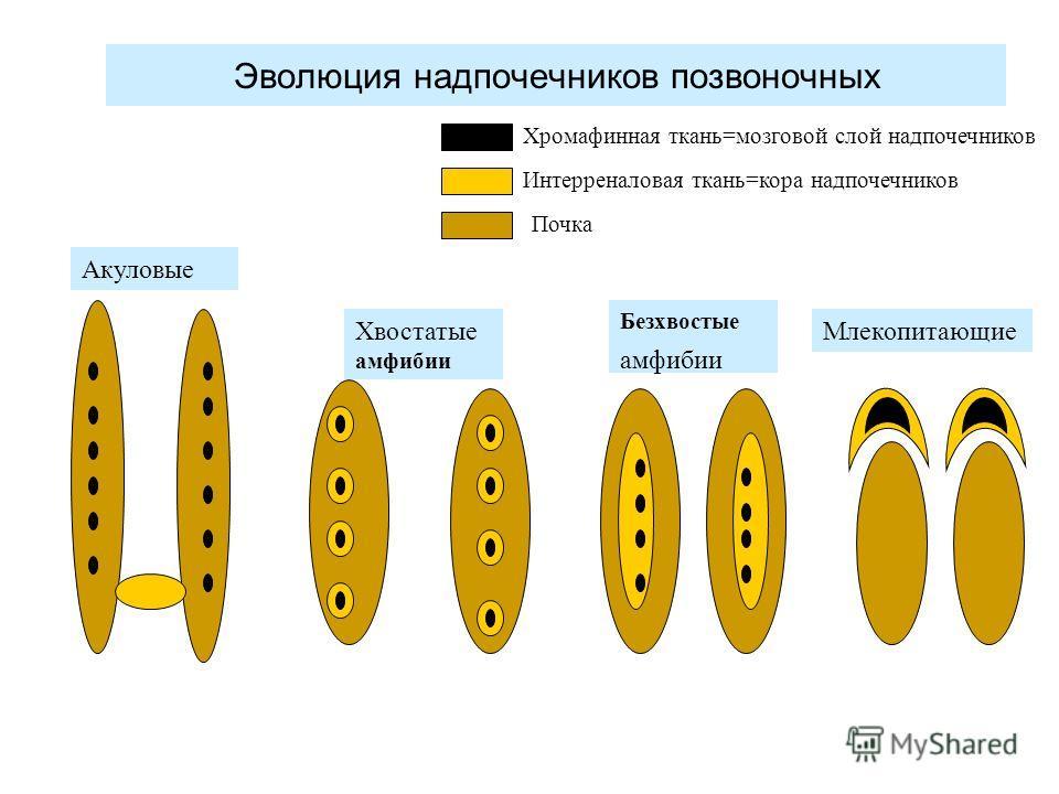Эволюция надпочечников позвоночных Акуловые Хвостатые амфибии Безхвостые амфибии Млекопитающие Хромафинная ткань=мозговой слой надпочечников Интерреналовая ткань=кора надпочечников Почка