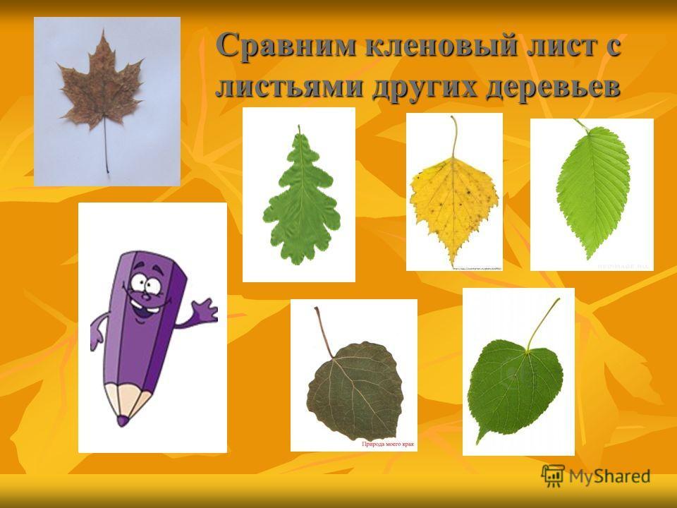 Сравним кленовый лист с листьями других деревьев