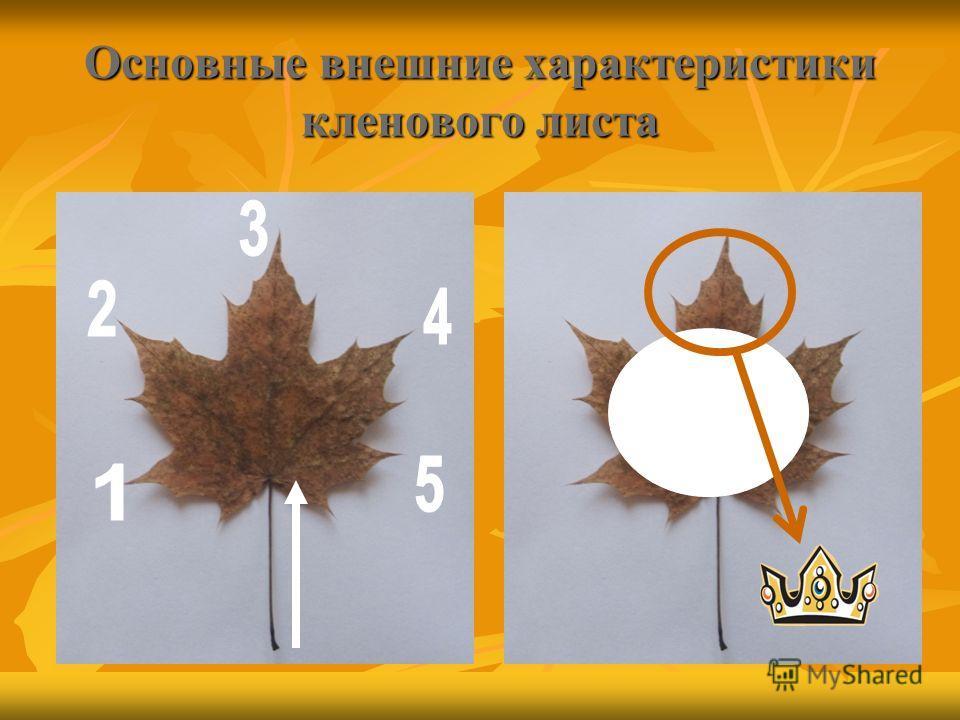 Основные внешние характеристики кленового листа