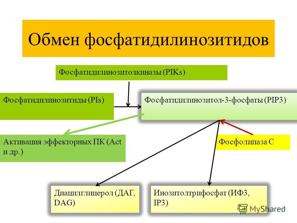 Обмен фосфатидилинозитидов Фосфатидилинозитиды (PIs) Фосфатидилинозитол-3-фосфаты (PIP3) Фосфатидилинозитолкиназы (PIKs) Фосфолипаза С Диацилглицерол (ДАГ, DAG) Инозитолтрифосфат (ИФ3, IP3) Активация эффекторных ПК (Act и др.)