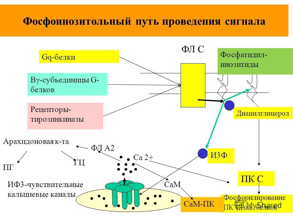 Фосфоинозитольный путь проведения сигнала ФЛ С ИФ3-чувствительные кальциевые каналы Са 2+ ПК С Диацилглицерол Фосфорилирование ПК С-зав. белков Арахидоновая к-та ГЦ ФЛ А2 ПГ СаМ СаМ-ПК И3Ф Фосфатидил- инозитиды Gq-белки Βγ-субъединицы G- белков Рецеп