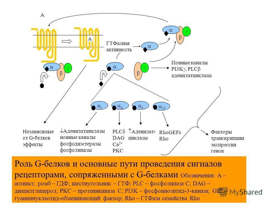 A A i q s 12 Независимые от G-белков эффекты Аденилатциклазы ионные каналы фосфодиэстеразы фосфолипазы PLC DAG Ca 2+ PKC Аденилат- циклазы RhoGEFs Rho Ионные каналы PI3K, PLC аденилатциклазы ГТФазная активность Факторы транскрипции экспрессия генов Р