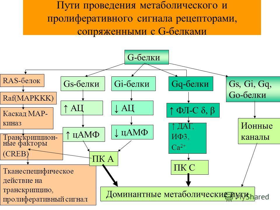 Пути проведения метаболического и пролиферативного сигнала рецепторами, сопряженными с G-белками G-белки Gs-белкиGi-белкиGq-белкиGs, Gi, Gq, Go-белки RAS-белок Каскад MAP- киназ Транскрипцион- ные факторы (CREB) Тканеспецифическое действие на транскр
