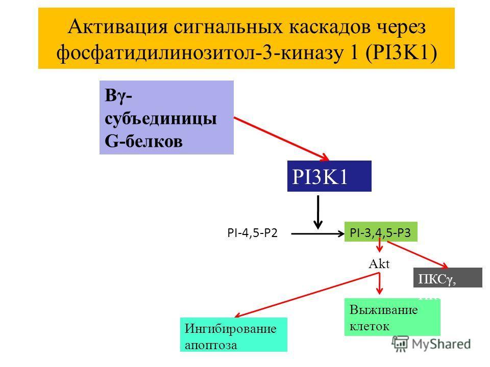 Активация сигнальных каскадов через фосфатидилинозитол-3-киназу 1 (PI3K1) Βγ- субъединицы G-белков PI3K1 PI-4,5-P2PI-3,4,5-P3 Akt Выживание клеток ПКСγ, ПКСε Ингибирование апоптоза