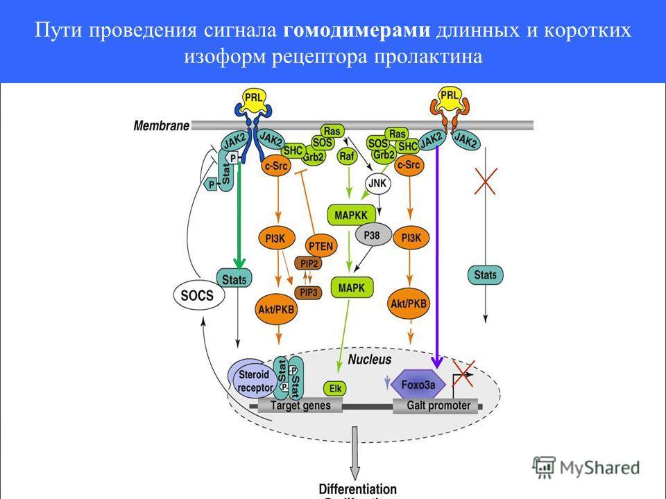 Пути проведения сигнала гомодимерами длинных и коротких изоформ рецептора пролактина