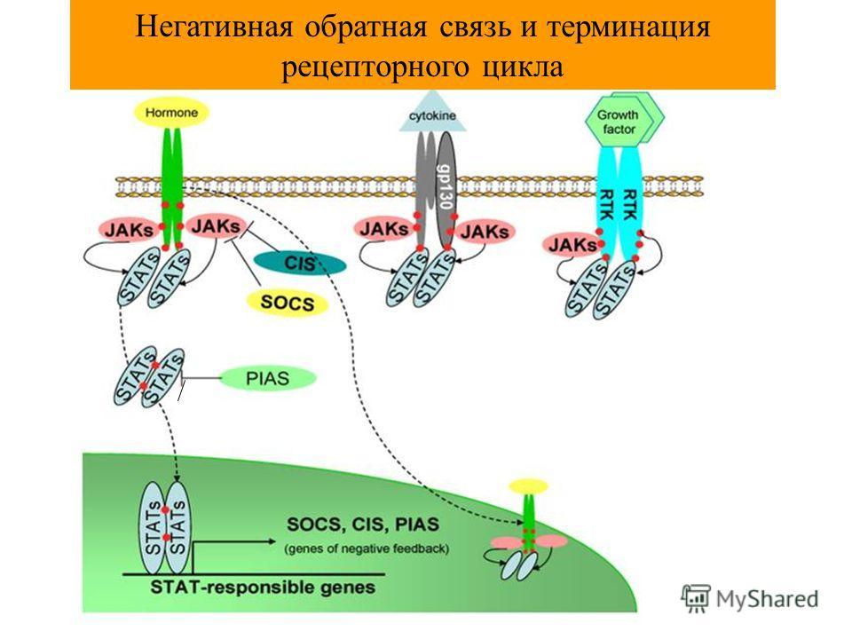 Негативная обратная связь и терминация рецепторного цикла