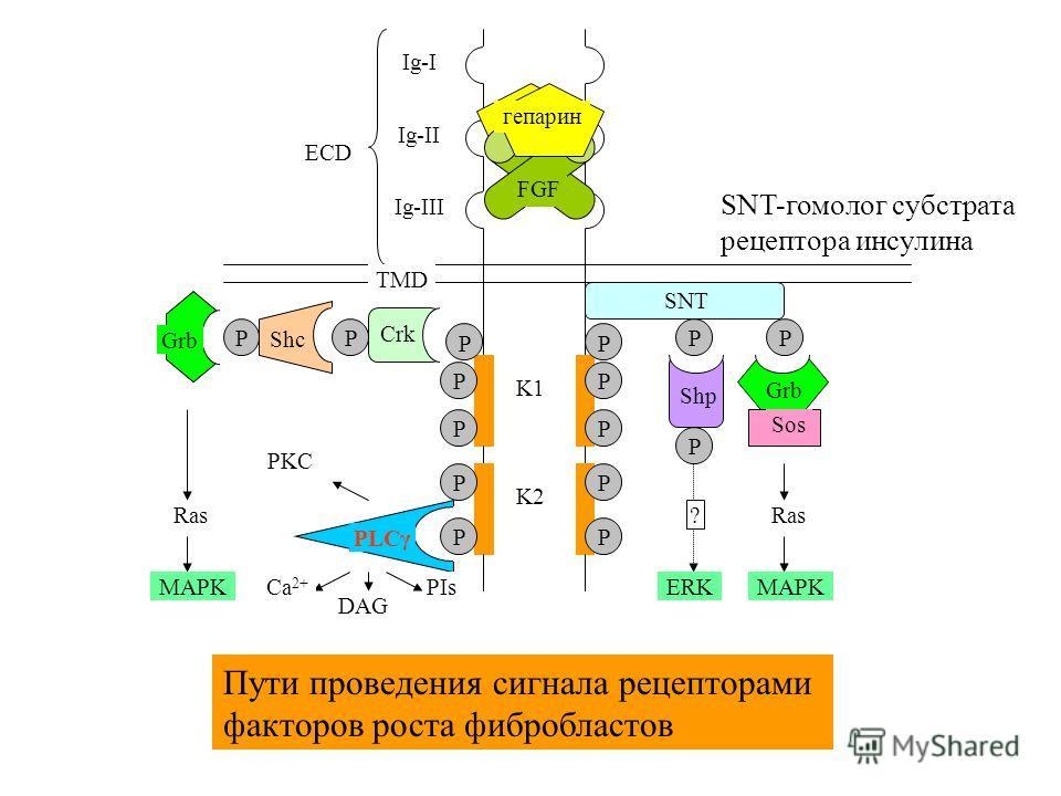 PLCγ Ig-II Ig-III Ig-I ECD TMD K1 K2 P FGF гепарин P P P P P P P SNT P Shp Grb P Sos Ras MAPK Crk P P Shc P Grb P Ras MAPKCa 2+ PIs DAG P ERK ? PKC Пути проведения сигнала рецепторами факторов роста фибробластов SNT-гомолог субстрата рецептора инсули
