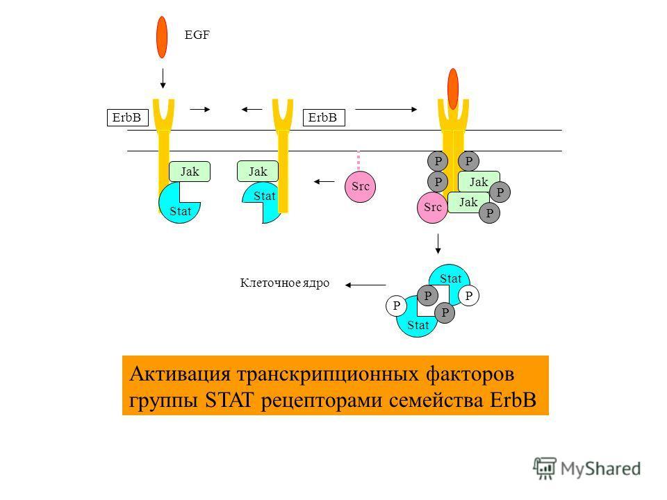Jak Stat Jak Stat ErbB Src Stat P P Jak P P P P P Src P P EGF Клеточное ядро Активация транскрипционных факторов группы STAT рецепторами семейства ErbB