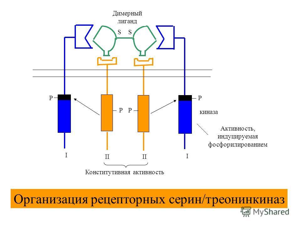 SS PP PP I I II Димерный лиганд киназа Конститутивная активность Активность, индуцируемая фосфорилированием Организация рецепторных серин/треонинкиназ