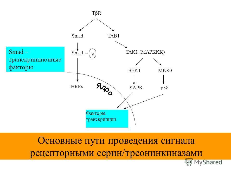 T R Smad P TAB1 TAK1 (MAPKKK) SEK1MKK3 SAPKp38 Факторы транскрипции HREs Основные пути проведения сигнала рецепторными серин/треонинкиназами Smad – транскрипционные факторы