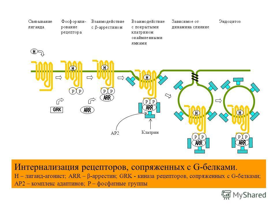Интернализация рецепторов, сопряженных с G-белками. H – лиганд-агонист; ARR – β-аррестин; GRK - киназа рецепторов, сопряженных с G-белками; AP2 – комплекс адаптинов; P – фосфатные группы AP2 Клатрин PPPP PP PPPP