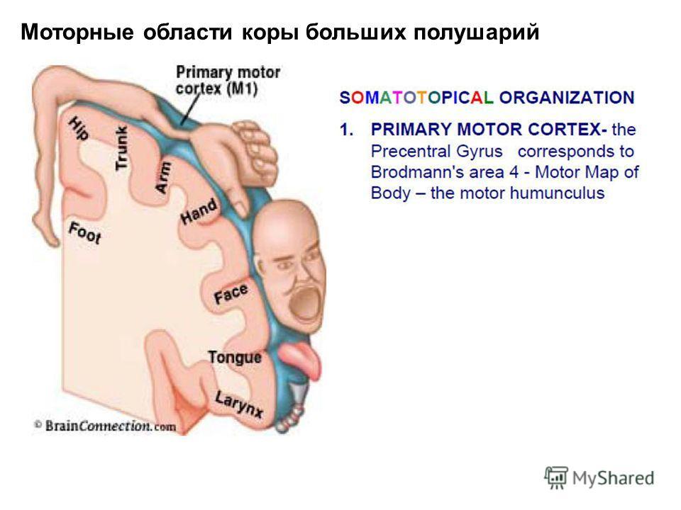 Моторные области коры больших полушарий