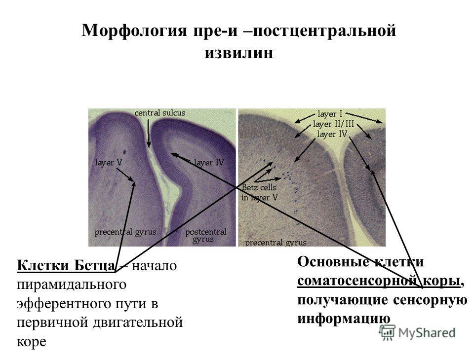 Морфология пре-и –постцентральной извилин Основные клетки соматосенсорной коры, получающие сенсорную информацию Клетки Бетца – начало пирамидального эфферентного пути в первичной двигательной коре