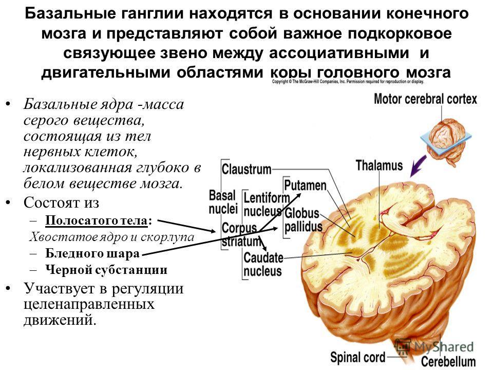Базальные ганглии находятся в основании конечного мозга и представляют собой важное подкорковое связующее звено между ассоциативными и двигательными областями коры головного мозга Базальные ядра -масса серого вещества, состоящая из тел нервных клеток