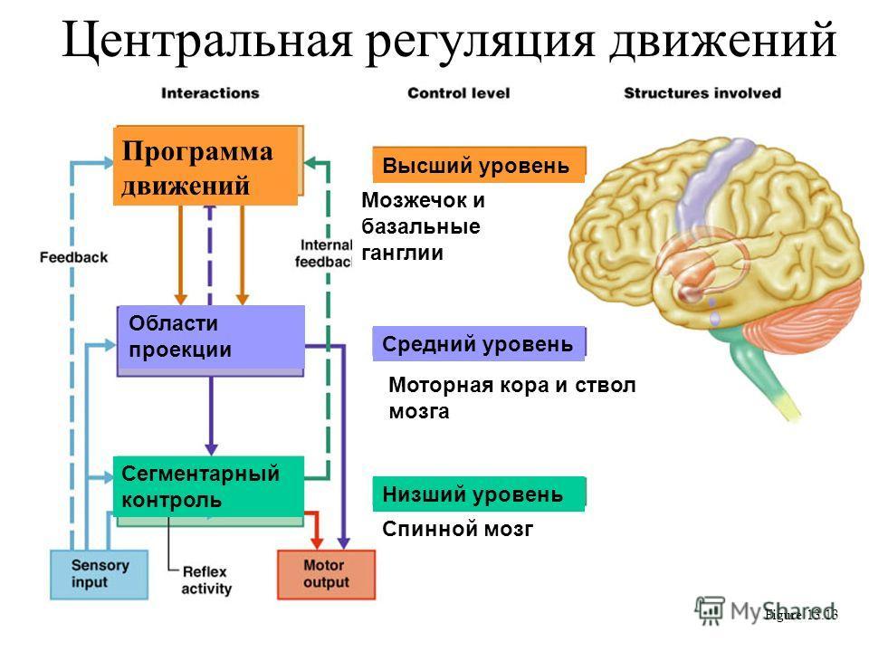 Центральная регуляция движений Figure 13.13 Программа движений Мозжечок и базальные ганглии Области проекции Моторная кора и ствол мозга Сегментарный контроль Спинной мозг Средний уровень Низший уровень Высший уровень