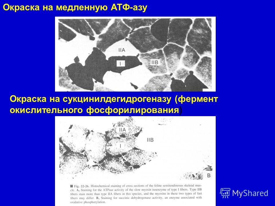 Окраска на медленную АТФ-азу Окраска на сукцинилдегидрогеназу (фермент окислительного фосфорилирования)