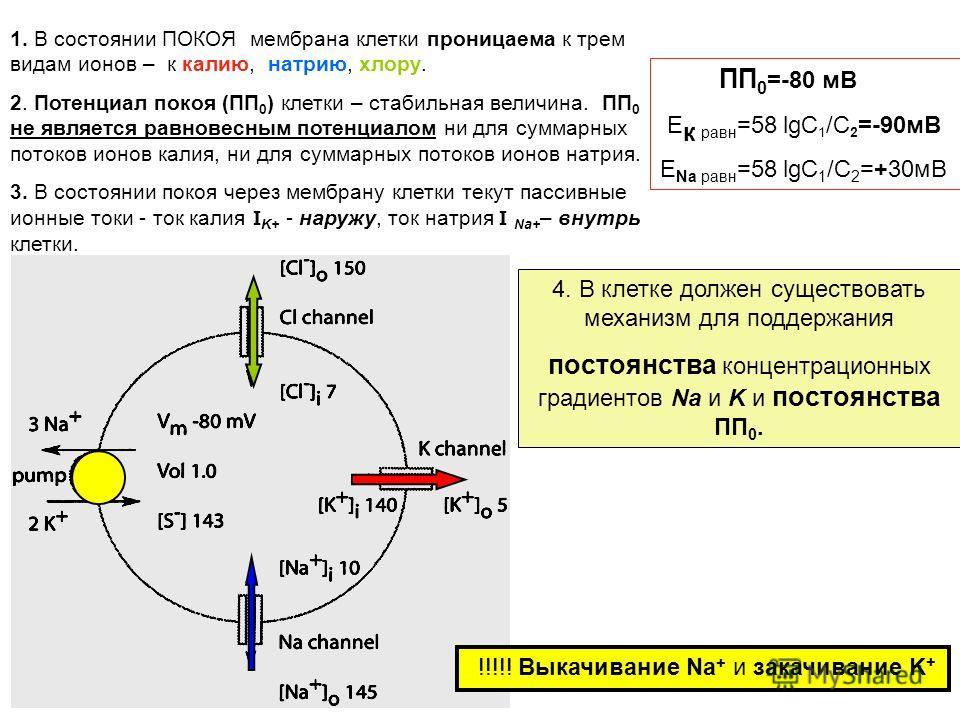 1. В состоянии ПОКОЯ мембрана клетки проницаема к трем видам ионов – к калию, натрию, хлору. 2. Потенциал покоя (ПП 0 ) клетки – стабильная величина. ПП 0 не является равновесным потенциалом ни для суммарных потоков ионов калия, ни для суммарных пото