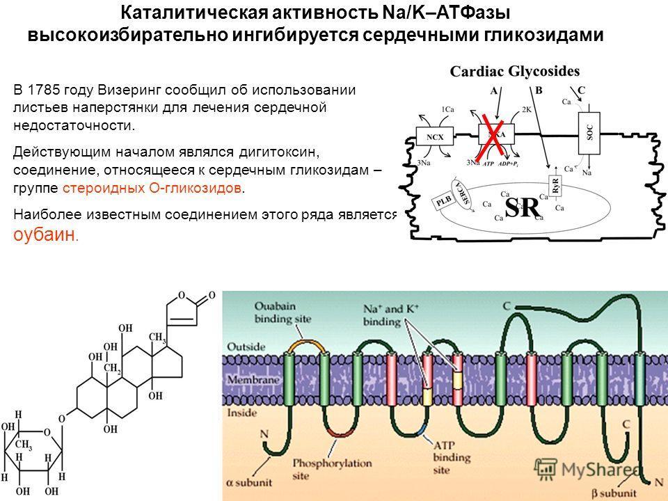 Каталитическая активность Na/K–ATФазы высокоизбирательно ингибируется сердечными гликозидами В 1785 году Визеринг сообщил об использовании листьев наперстянки для лечения сердечной недостаточности. Действующим началом являлся дигитоксин, соединение,