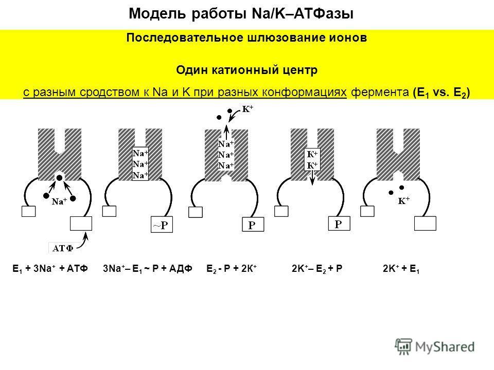 E 1 + 3Na + + ATФ Модель работы Na/K–ATФазы 3Na + – E 1 ~ P + АДФE 2 - P + 2К + 2K + – E 2 + P2K + + E 1 Последовательное шлюзование ионов Один катионный центр с разным сродством к Na и K при разных конформациях фермента (E 1 vs. E 2 )