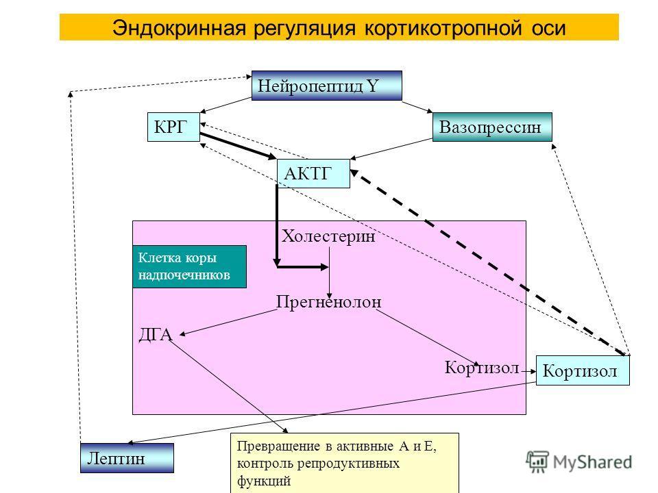Эндокринная регуляция кортикотропной оси Нейропептид Y КРГВазопрессин АКТГ Холестерин Прегненолон ДГА Кортизол Лептин Превращение в активные А и Е, контроль репродуктивных функций Кортизол Клетка коры надпочечников