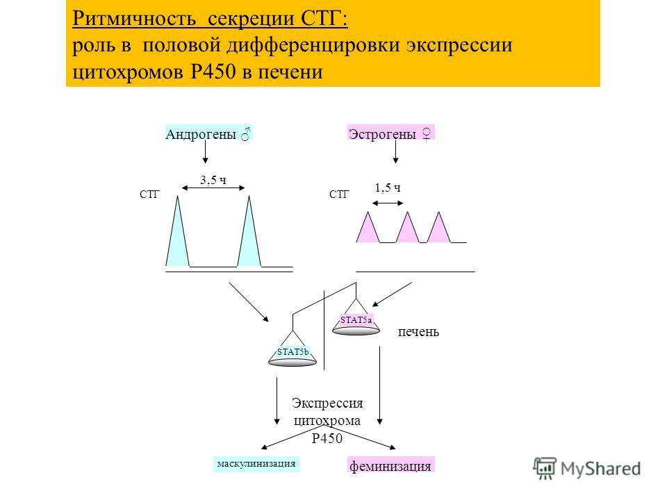3,5 ч 1,5 ч СТГ STAT5a STAT5b СТГ печень Экспрессия цитохрома P450 маскулинизация феминизация Андрогены Эстрогены Ритмичность секреции СТГ: роль в половой дифференцировки экспрессии цитохромов P450 в печени