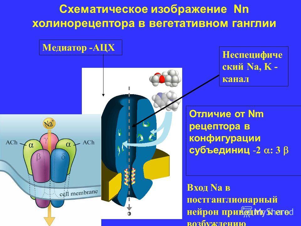 Схематическое изображение Nn холинорецептора в вегетативном ганглии Неспецифиче ский Na, K - канал Медиатор -АЦХ Отличие от Nm рецептора в конфигурации субъединиц -2 : 3 Вход Na в постганглионарный нейрон приводит к его возбуждению