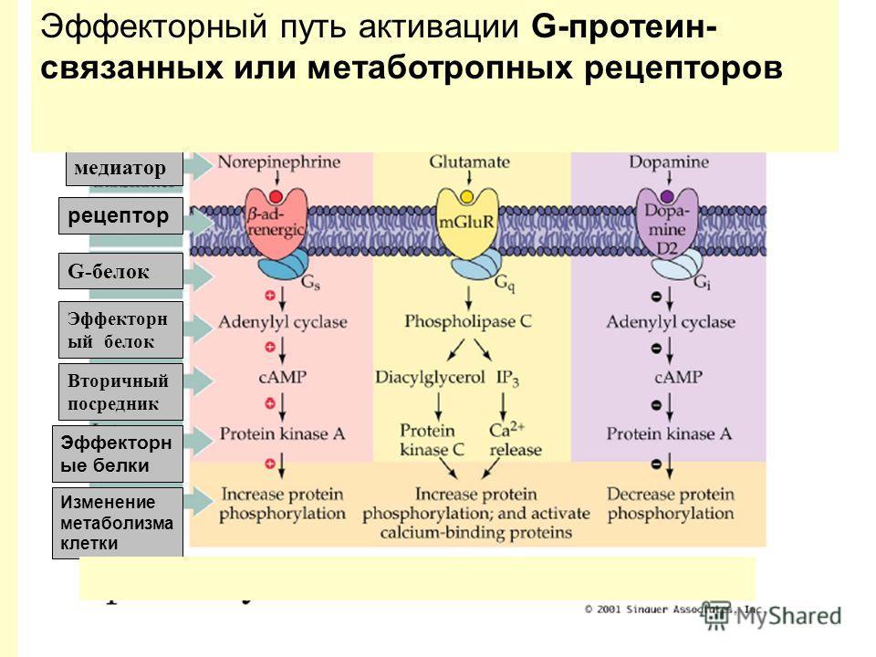 медиатор рецептор G-белок Эффекторн ый белок Вторичный посредник Эффекторн ые белки Изменение метаболизма клетки Эффекторный путь активации G-протеин- связанных или метаботропных рецепторов