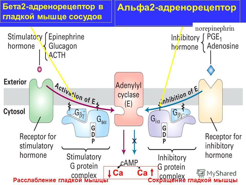 Бета2-адренорецептор в гладкой мышце сосудов Альфа2-адренорецептор norepinephrin Са Са Расслабление гладкой мышцыСокращение гладкой мышцы