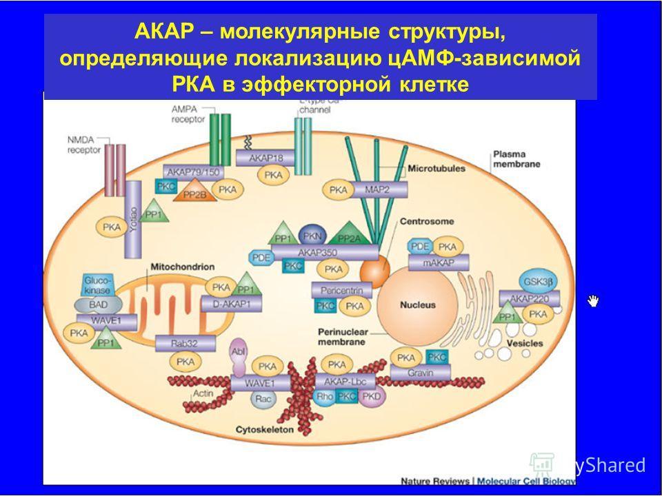 АКАР – молекулярные структуры, определяющие локализацию цАМФ-зависимой РКА в эффекторной клетке