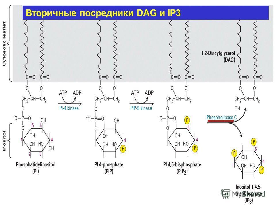 Вторичные посредники DAG и IP3