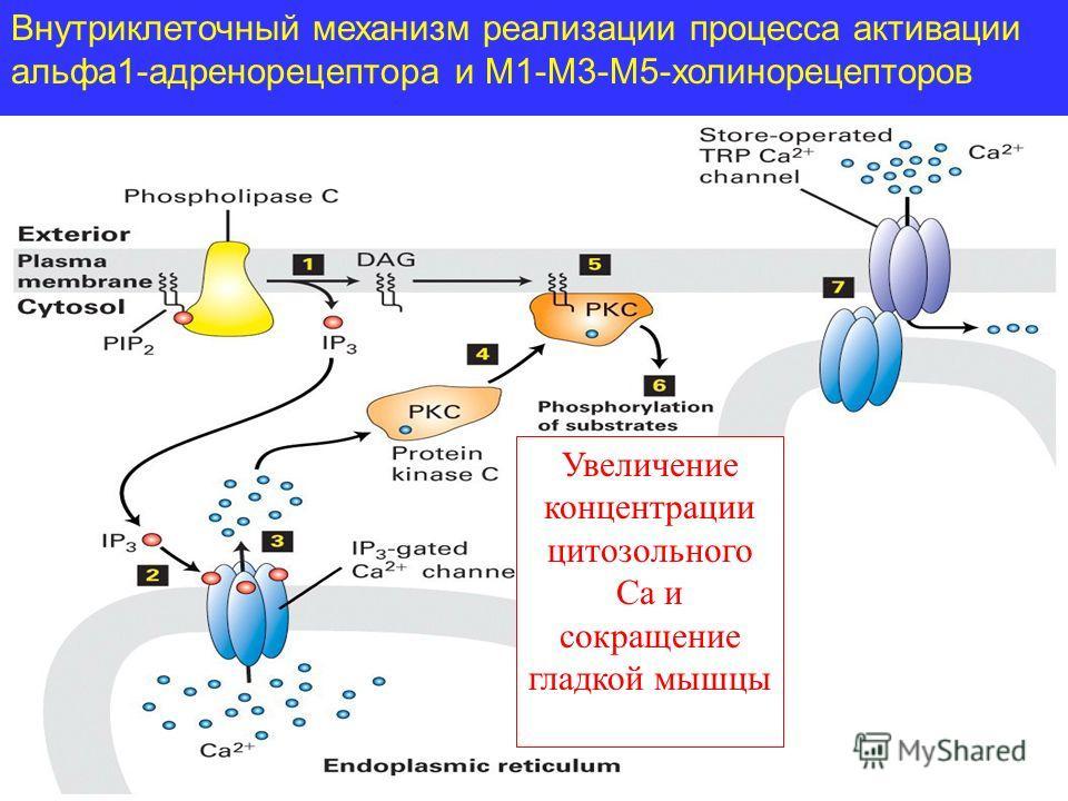 Внутриклеточный механизм реализации процесса активации альфа1-адренорецептора и М1-М3-М5-холинорецепторов Увеличение концентрации цитозольного Са и сокращение гладкой мышцы