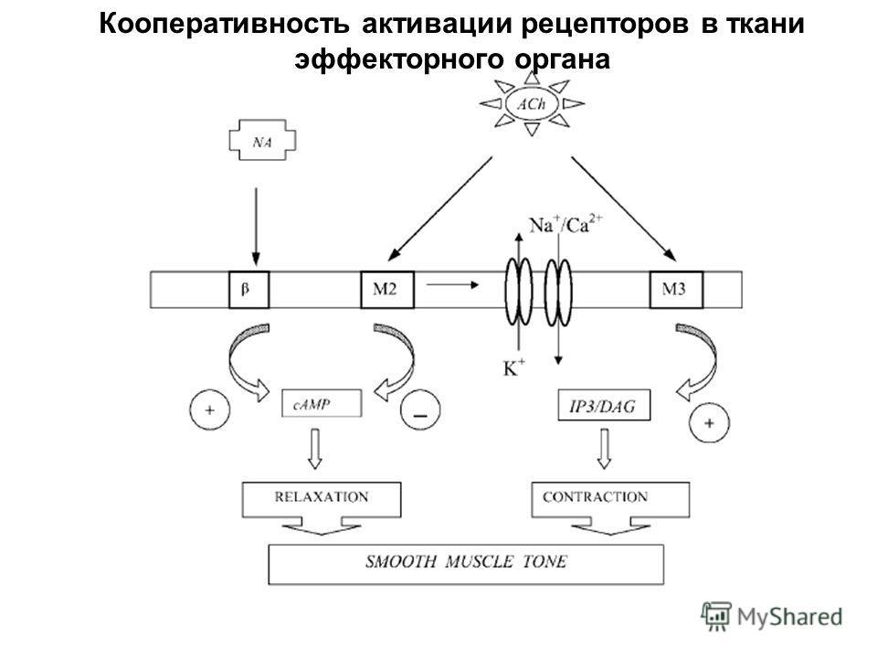 Кооперативность активации рецепторов в ткани эффекторного органа