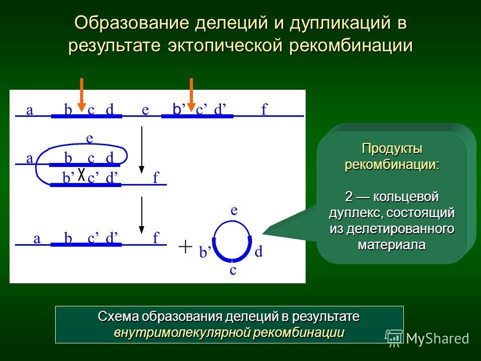 Образование делеций и дупликаций в результате эктопической рекомбинации abcde b c d f abcd e b c d f ab c d e b c d f + Схема образования делеций в результате внутримолекулярной рекомбинации Продукты рекомбинации: 2 кольцевой дуплекс, состоящий из де