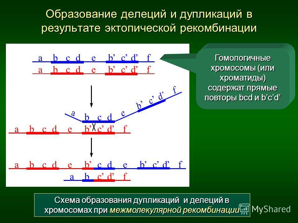 Образование делеций и дупликаций в результате эктопической рекомбинации Схема образования дупликаций и делеций в хромосомах при межмолекулярной рекомбинации Гомологичные хромосомы (или хроматиды) содержат прямые повторы bcd и bcd